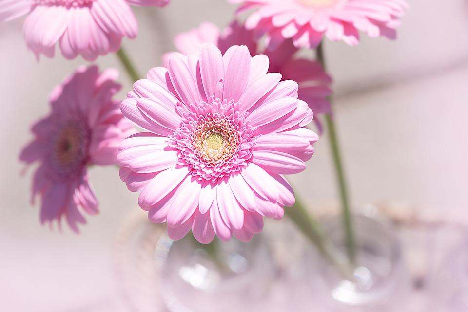Fiori Tipo Margherite.Margherita Rosa Fiore Foto Gratis Su Pixabay