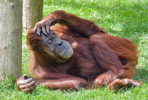 Orangutan, Monkey, Roux, Rest, Sleep