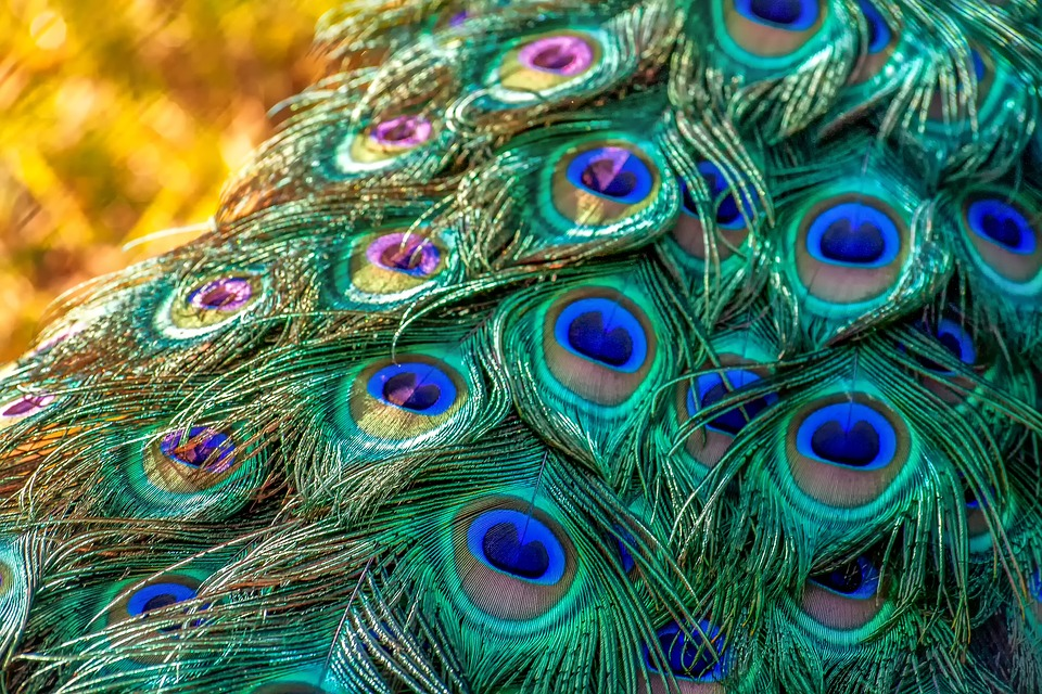peacock feathers feather free photo on pixabay