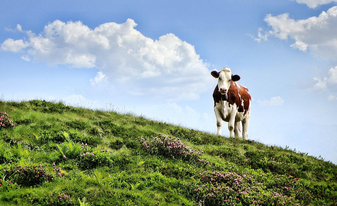 Первым, коровы в картинках на природе