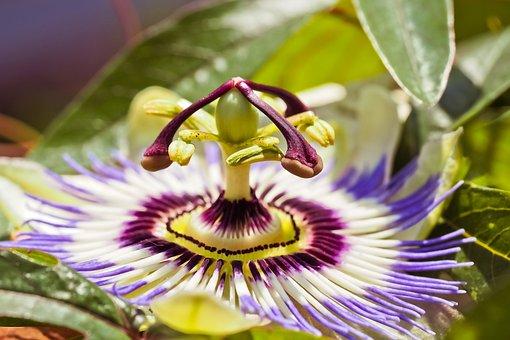 Flower, Passion Flower, Passiflora