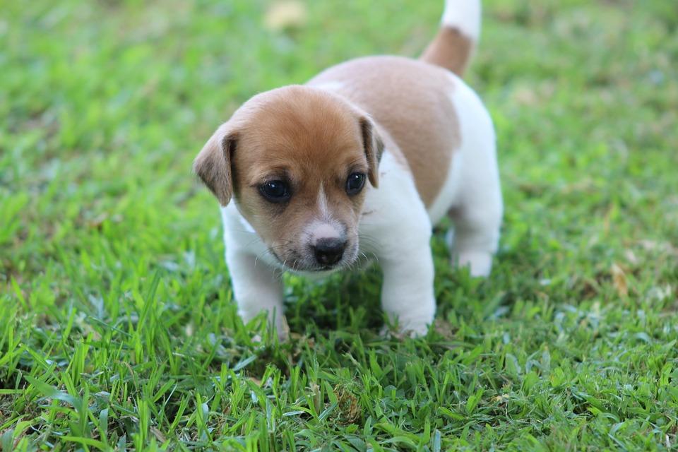 jack russel puppy dog - free photo on pixabay