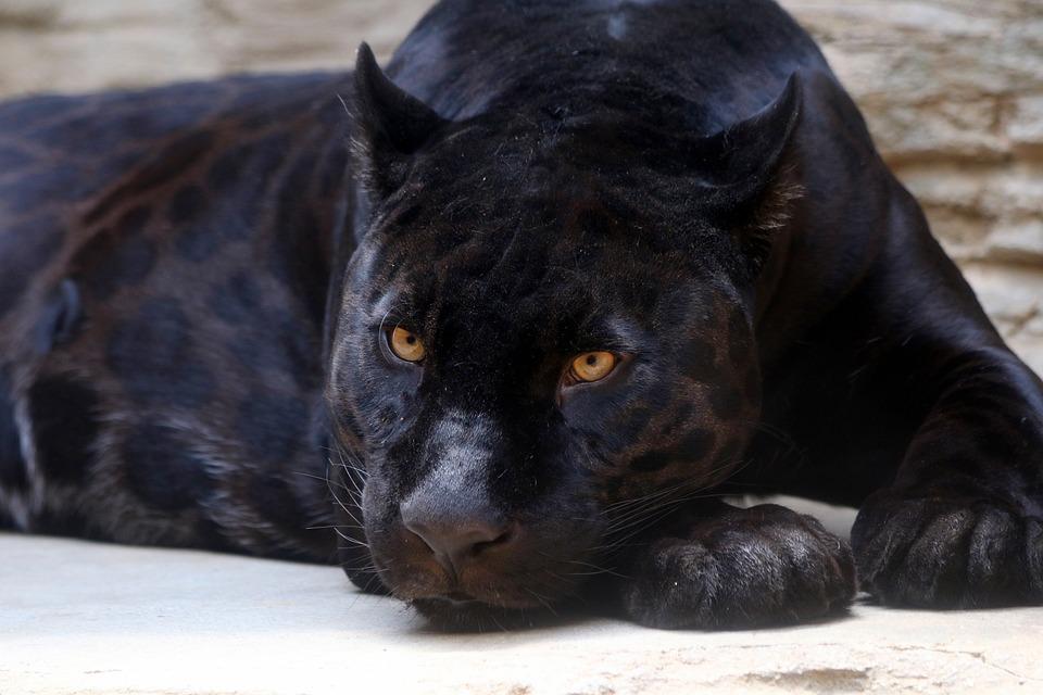 Panthère Noire, Jaguar, Féline, Predator, Zoo