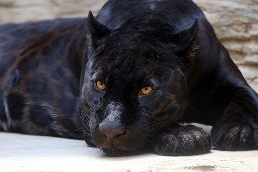 Black Panther, Jaguar, Feline, Predator