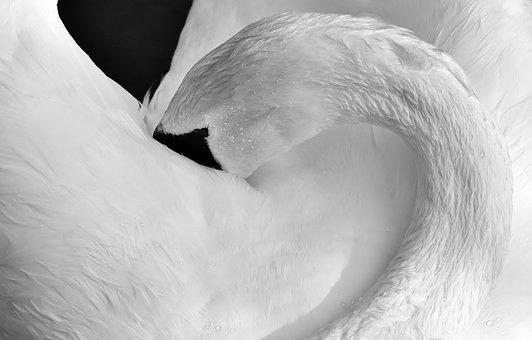 Swan, Feather, Plumage, Water Bird