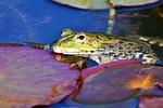 żaba, toad, płazy