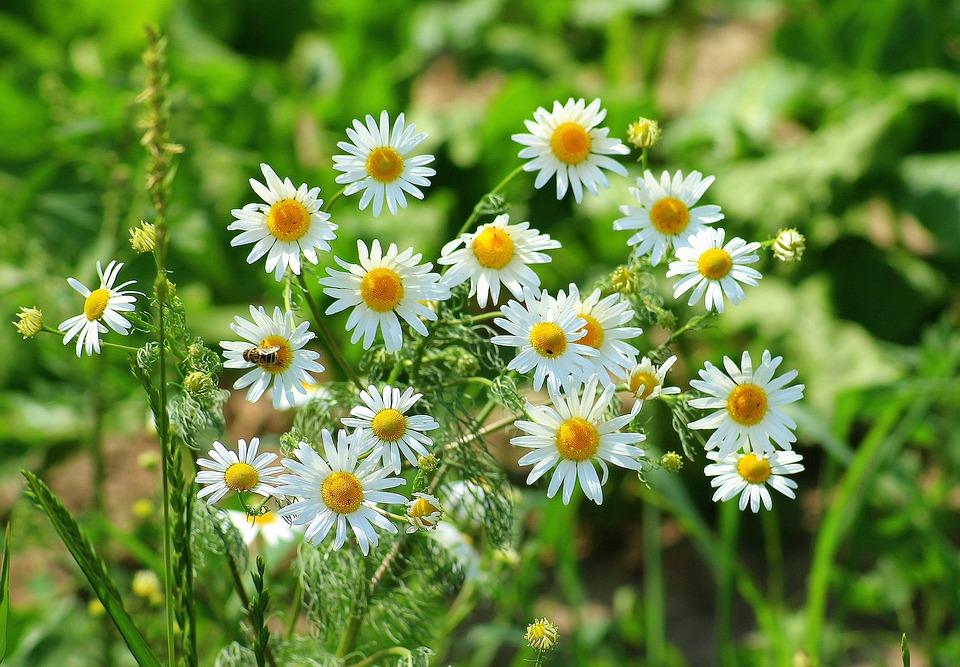 Camomille Pré Herb - Photo gratuite sur Pixabay