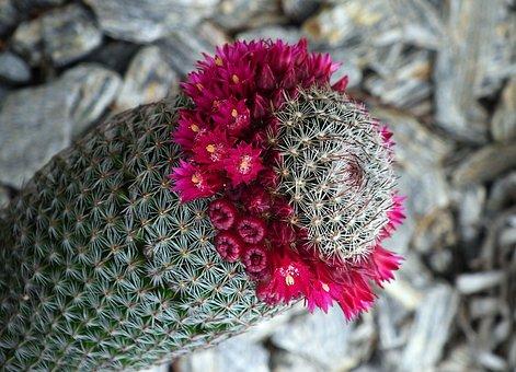 Cactus, Flowering Cactus, Spikes, Nature