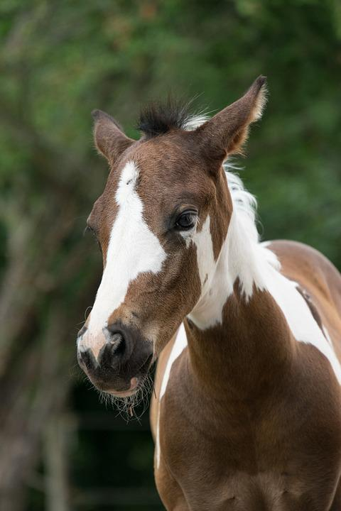 Animal, Horse, Foal, Young, Small, Pinto, Mare