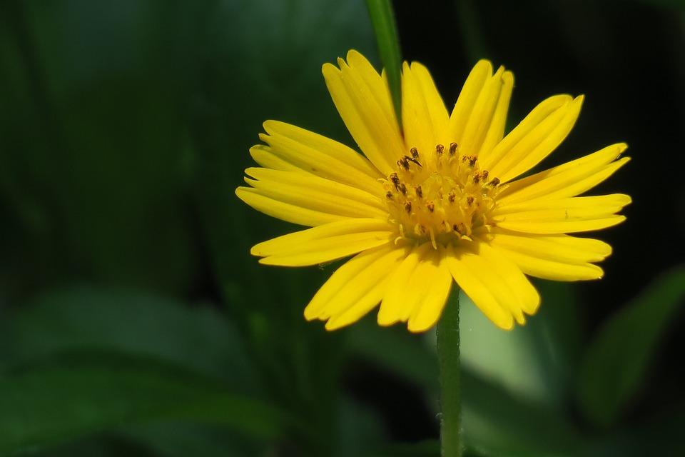 Small yellow daisy plant flower free photo on pixabay small yellow daisy plant flower bloom light mightylinksfo