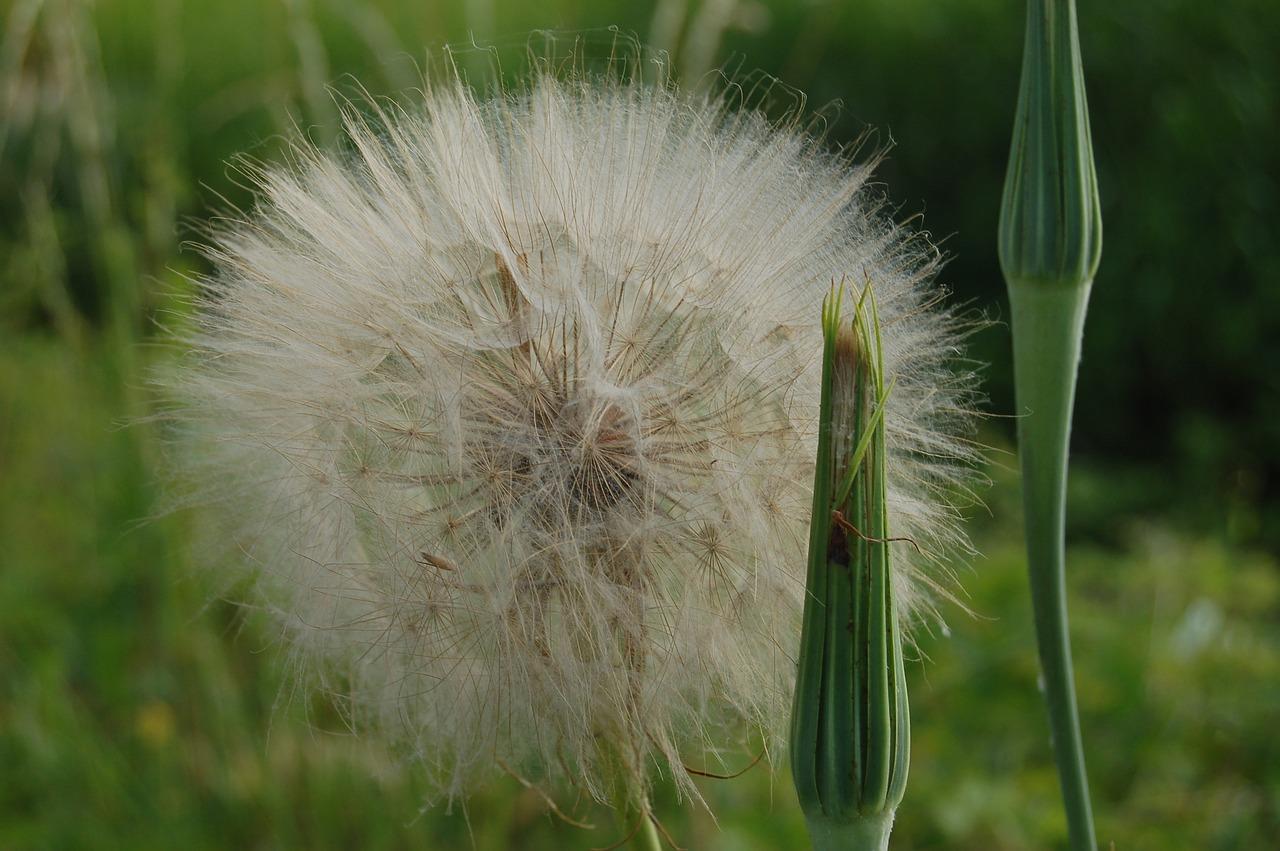 подчеркивает, растения похожие на одуванчики фото поделитесь
