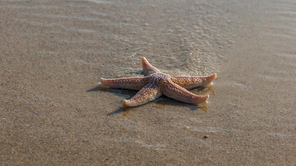 Las estrellas de mar se están ahogando por el calentamiento.