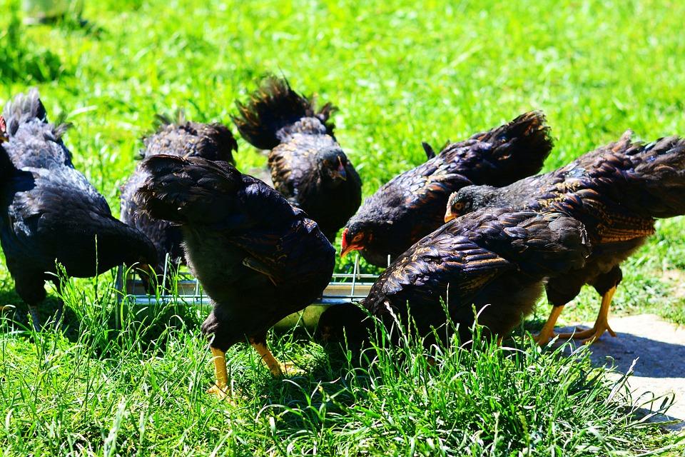 78+ Gambar Ayam Makan Paling Bagus