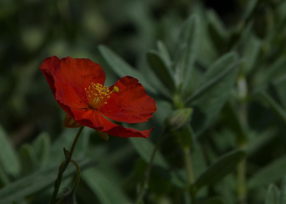 Tek çiçek Red Pixabayde ücretsiz Fotoğraf