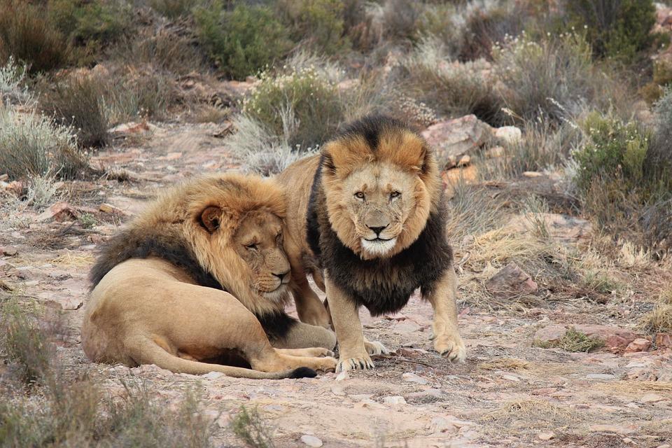 95a2ebb5 Lion Lions Safari Baby - Free photo on Pixabay