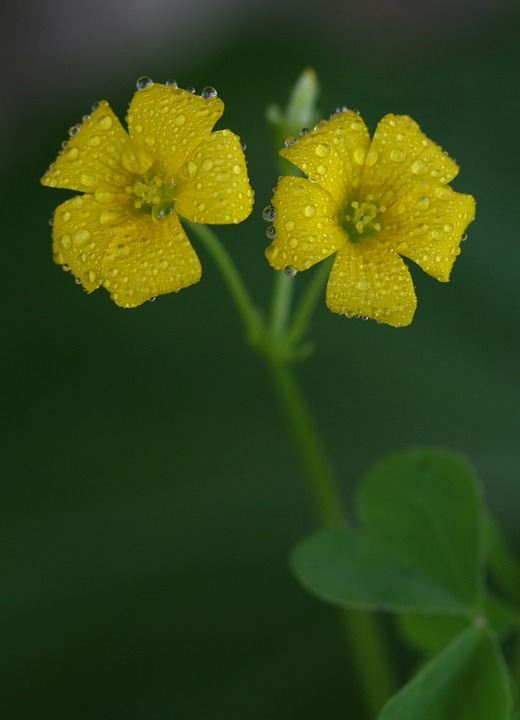 Clover flower yellow free photo on pixabay clover flower yellow plant nature mightylinksfo