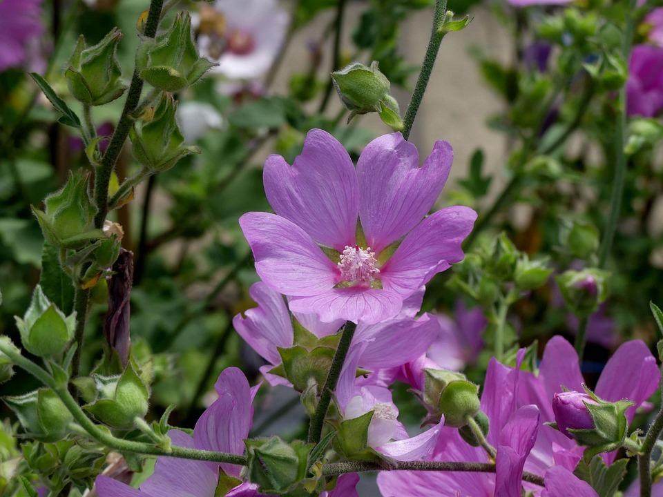 Fleur Mauve Rose - Photo gratuite sur Pixabay