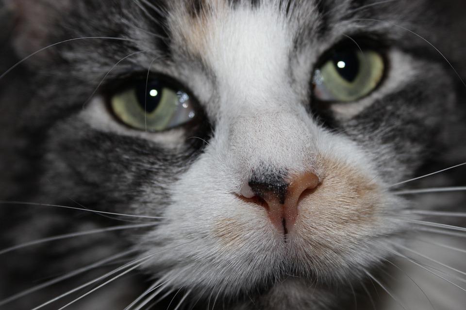cat hypnotic eyes cat s free photo on pixabay