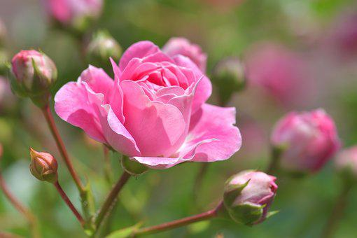 Pink Rose Images Pixabay Download Free Pictures