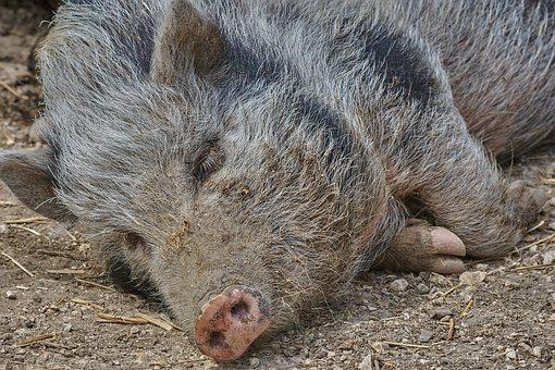 公猪, 睡眠, 性质, 野生, 森林, 猪, 野猪, 母猪, 毛, 关注, 困了