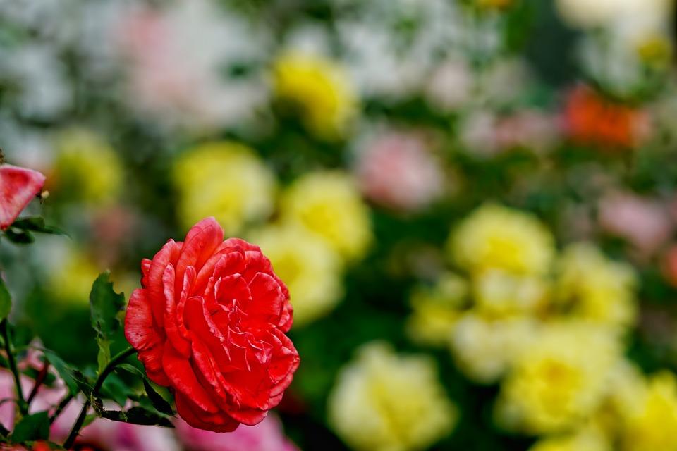 Bed Met Rozen.Rozen Bed Of Roses Bloemen Gratis Foto Op Pixabay