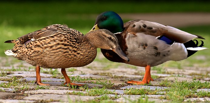 Ducks, Pair, Mallards, Colorful