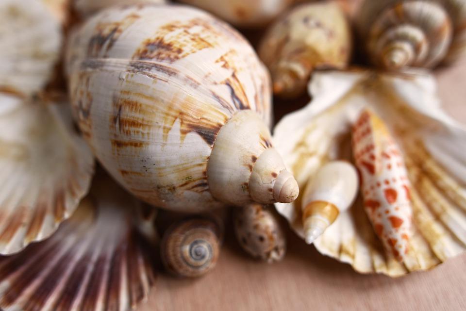 Coquillages, Mollusque, Pétoncle, Conque, Spirale, Clam