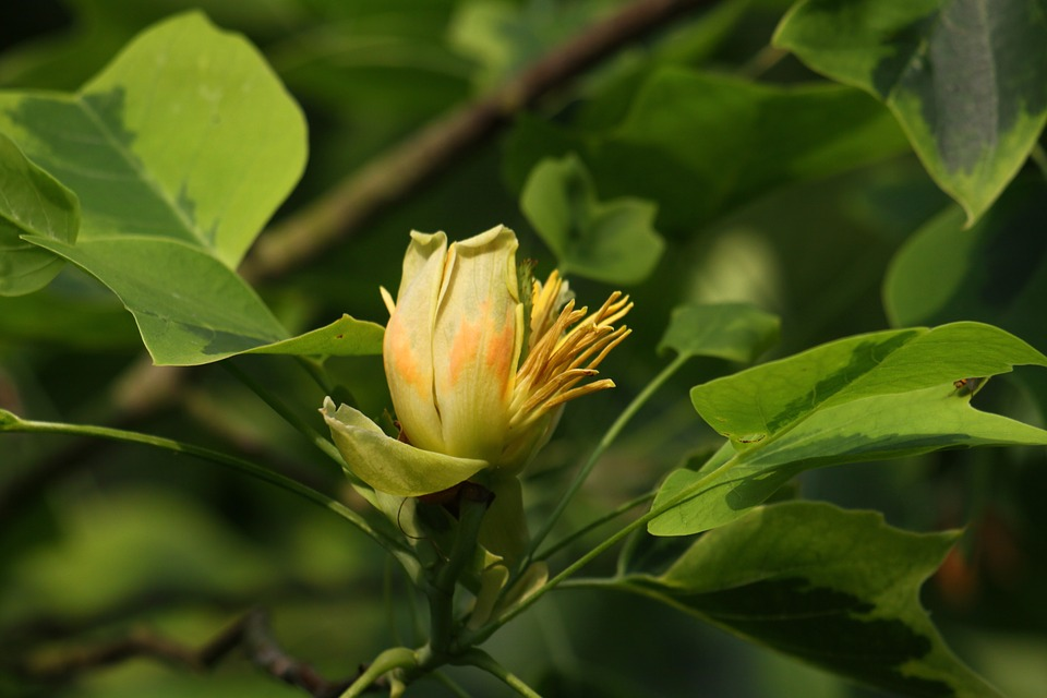 Flower tulip tree yellow free photo on pixabay flower tulip tree yellow nature big tree mightylinksfo