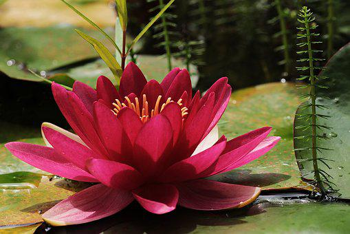 Water Lily, Red, Pond, Flower, Bloom