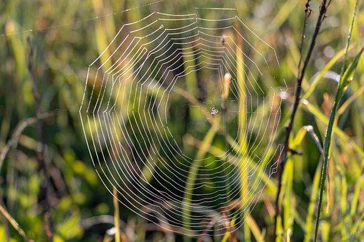 Spider Web, Rosa, Nature, Drops, Closeup