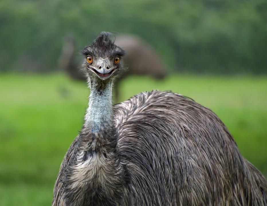 Emu, Spesies Burung Raksasa yang Berasal dari Australia