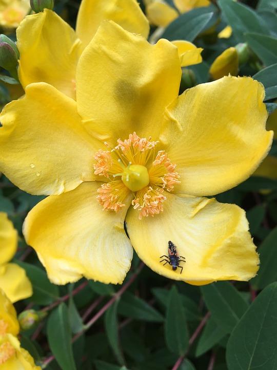 Bug yellow flower free photo on pixabay bug yellow flower leaves pretty petals mightylinksfo