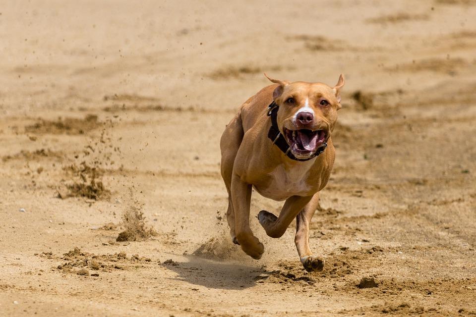 犬, 走る, 犬レース, 犬が実行されます, アクション, ペットの写真撮影, グレイハウンドレーシング