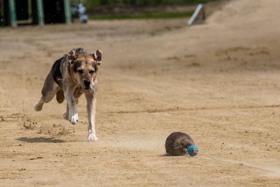 Dog, Runs, Dog Racing, Dog Runs, Action