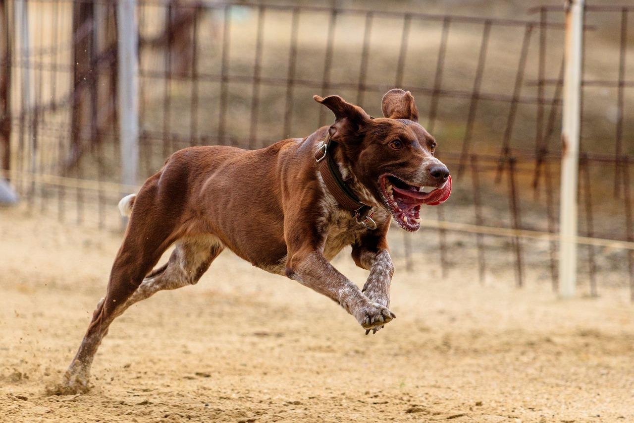 Бегущие собаки в картинках