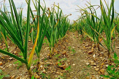 自然, 農業, ニンニクの分野のニンニク, フィールド, の栽培のニンニク