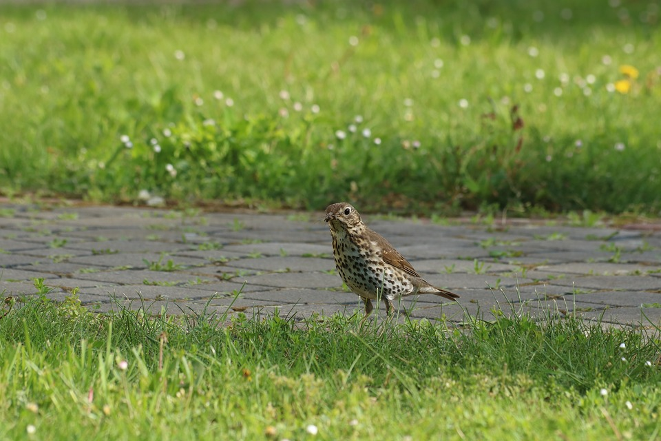 Song Thrush, Bird, Grass, Path, Summer