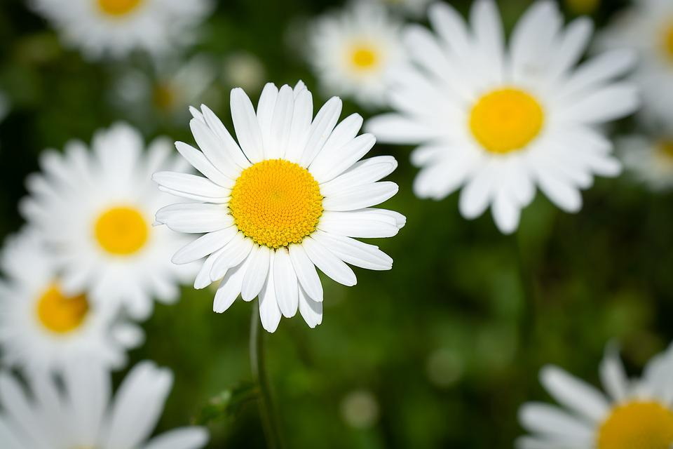Fiori Bianchi Tipo Margherita.Margherite Fiori Bianco Foto Gratis Su Pixabay