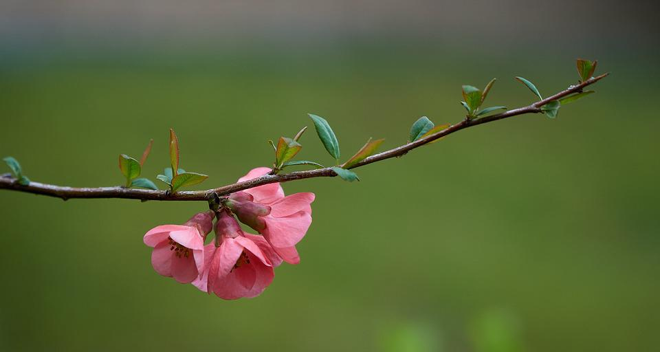 Quince spring flowers free photo on pixabay quince spring flowers japanese branches nature mightylinksfo