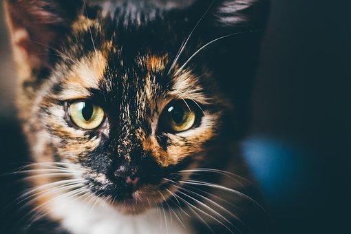 Katze, Hauskatze, Glückskatze