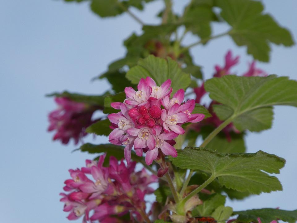 Pink Flower Bush Ornamental Shrub Free Photo On Pixabay