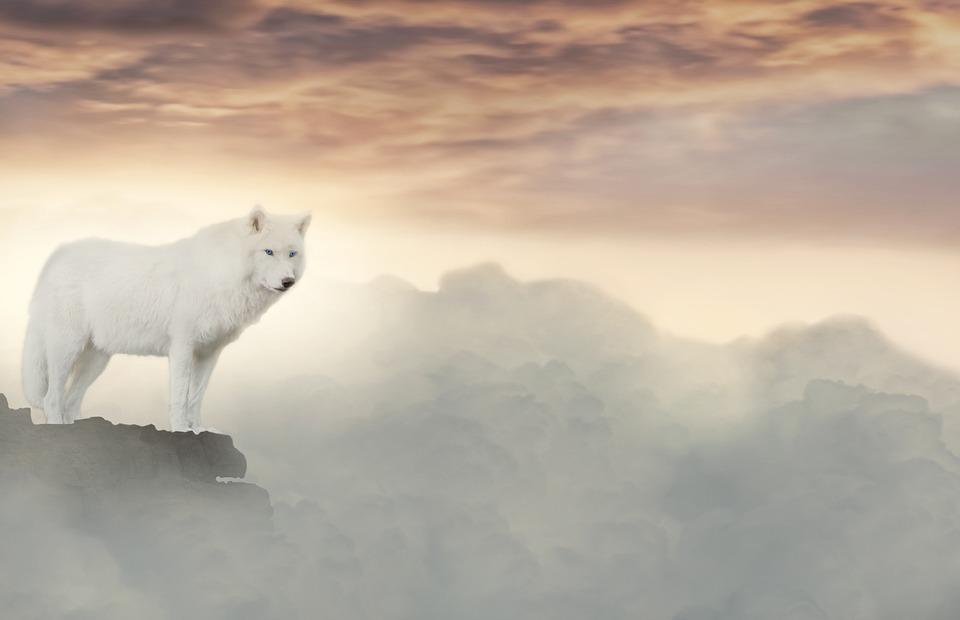 Moro-white wolf
