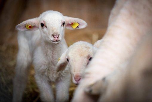Owiec, Zwierzęta Gospodarskie, Wełna