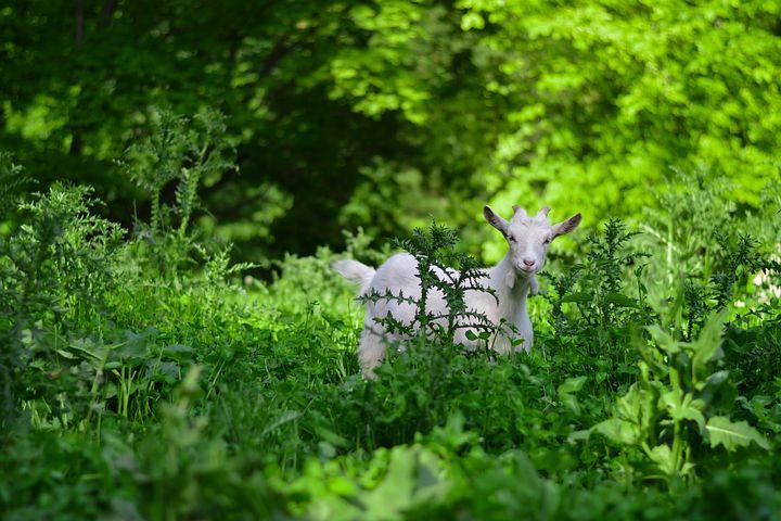 американских козы в лесу картинки начальника