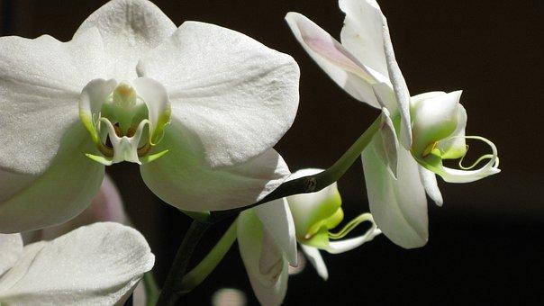 schwarze orchidee bilder pixabay kostenlose bilder herunterladen. Black Bedroom Furniture Sets. Home Design Ideas