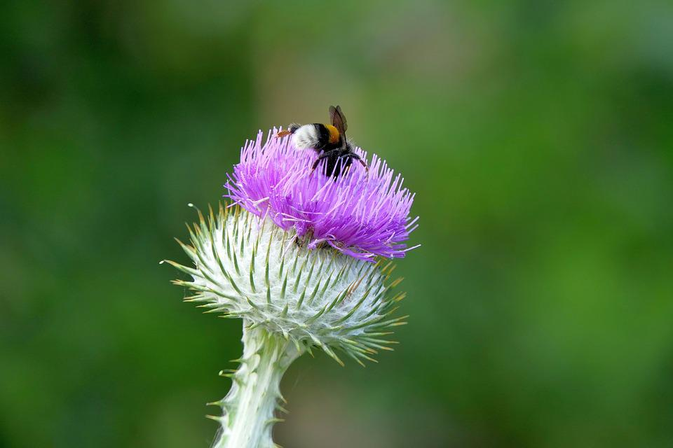 Thistle, Insect, Nature, Close Up, Plant