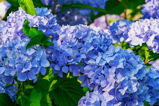 あじさい, 花, アジサイの花, 青, 明るい, ブルーム, 観賞用低木