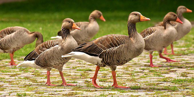 Geese, Wild Geese, Waterfowl, Group