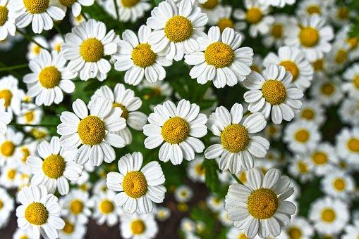 Kamille, Blume, Pflanze, Blüte, Kräuter