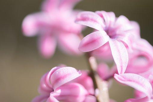 Peste 40 De Imagini Gratuite Cu Zambile Roz și Roz Pixabay